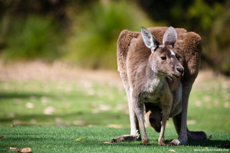 家有6个孩子(二)Yanchep 国家公园 - 3个孩子妈 - 3个孩子妈在澳洲珀斯的日记